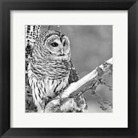 Framed White Owl