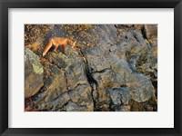 Framed Fox On The Rocks