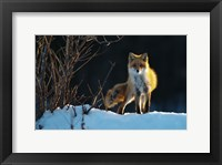 Framed Red Fox