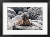 Framed Galapagos Sea Lion Pup