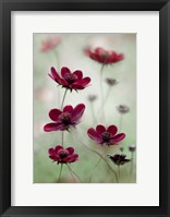 Framed Cosmos Sway