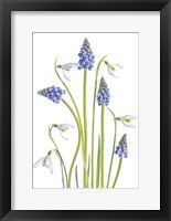 Framed Muscari And Galanthus