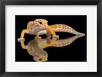 Framed Leopard Gecko
