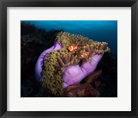 Framed Clown Fish With Magnificent Anemone
