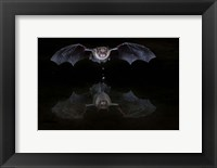 Framed Thirsty Bat