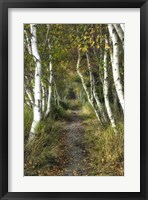 Birch Path II Framed Print