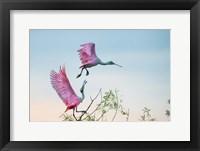 Framed Rosy Pair (Roseate Spoonbills)
