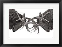 Framed Eye To Eye - Elk Fight