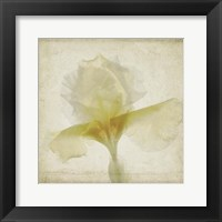 Framed Parchment Flowers IX