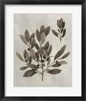 Framed Arbor Specimen IV