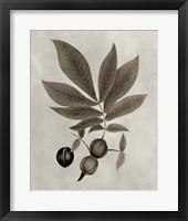 Framed Arbor Specimen VI