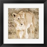 Framed Lioness in Kenya (sepia)