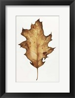 Framed Black Oak Leaf