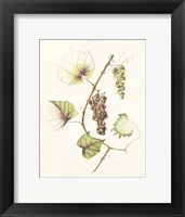 Framed Concord Grapes