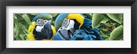Framed Blue & Yellow Macaws