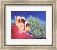 Framed Clown Fish