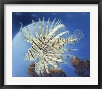 Framed Lion Fish