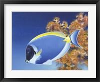 Framed Powder Blue Tang