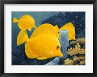 Framed Yellow Tangs