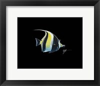 Framed Moorish Idol