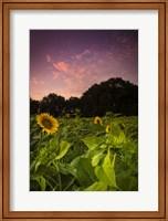 Framed Sherbet Sunflowers