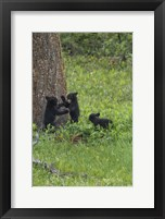 Framed 3 Black Bear Cubs (YNP)