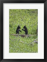 Framed Black Bear Cubs (YNP)