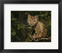 Framed Bobcat Kitten On Branch