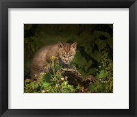 Framed Bobcat Kitten Poses On Log