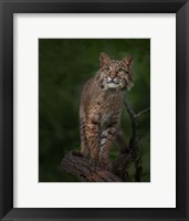 Framed Bobcat Poses On Tree Branch 1