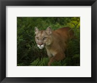 Framed Mountain Lion On The Prowl