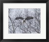 Framed Snowy Eagle