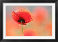 Framed Poppy Dream