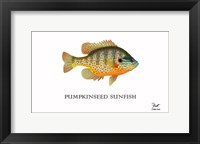 Framed Pumpkinseed Sunfish