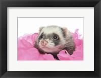 Framed Ferrets 2