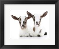 Framed Goats 2
