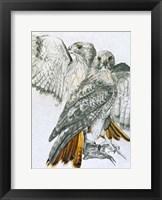 Framed Redtailed Hawk