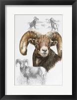 Framed Big Horn Sheep