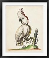 Framed Edwards' Cockatoo