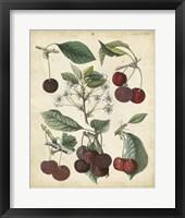 Framed Calwer Common Cherry