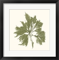 Seaweed Collection III Framed Print