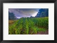 Framed corn in the morning