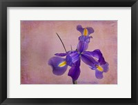 Framed Dutch Iris II