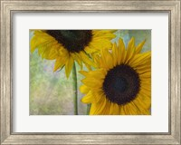Framed Big Sunflowers