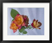 Framed Peachy Rose