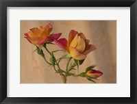 Framed Peachy Rose 2