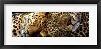 Framed Two Sleepers Cheetahs