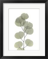 Framed Striving Eucalyptus
