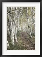 Framed Birch Trail