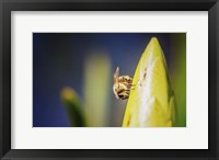 Framed Bee On Protea